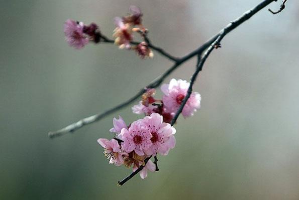 اصفهان - شکوفههای بهاری درختان