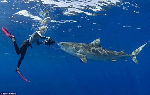شنای غواص نترس با گروهی از کوسههای ببری در فاصله سه مایلی از ساحل اوئاهو در هاوایی