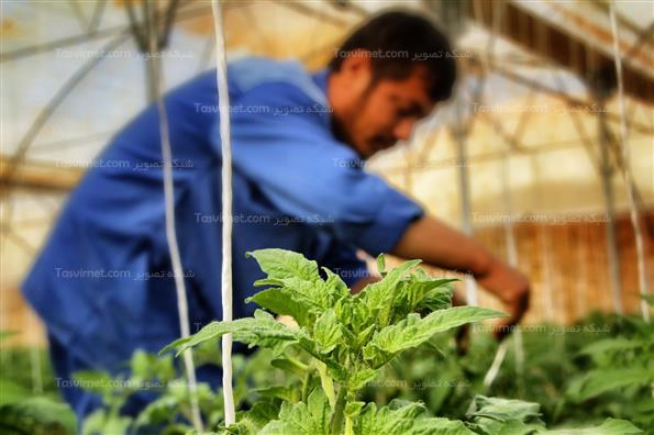 پرورش گوجه فرنگی گلخانه ای در استان بوشهر