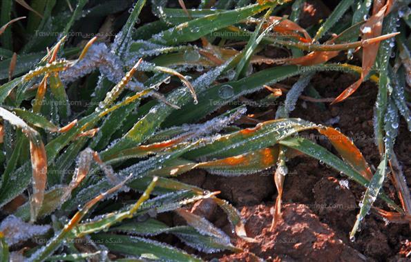 محصولات سرمازده کشاورزي در نيشابور