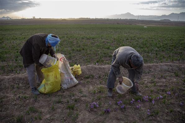 برداشت زعفران در شهرستانهای تربت حیدریه