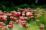 زیبایی گل های لاله در باغ ایرانی